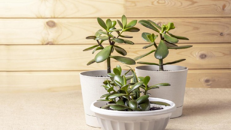 Succulent houseplant Crassula ovata in a pot on rustic background