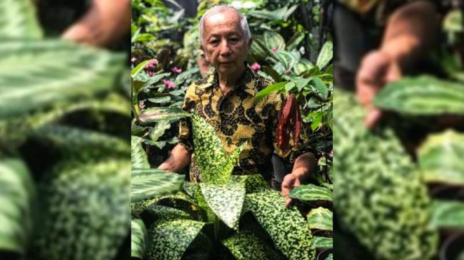 Berhasil mengawinkan silang tanaman hias Aglonema yang kini harganya bisa ratusan juta, Greg Hambali kini dijuluki bapak Aglonema Indonesia.