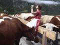 FOTO: Usai Sudah Liburan Musim Panas Sapi-sapi Bavaria