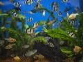 10 Jenis Ikan Hias Air Tawar Berukuran Kecil