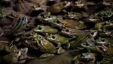 Katak, terutama kaki katak menjadi salah satu menu favorit orang Prancis. Pada 2017 saja dalam setahun konsumsi daging katak beku mencapai 4.000 ton.
