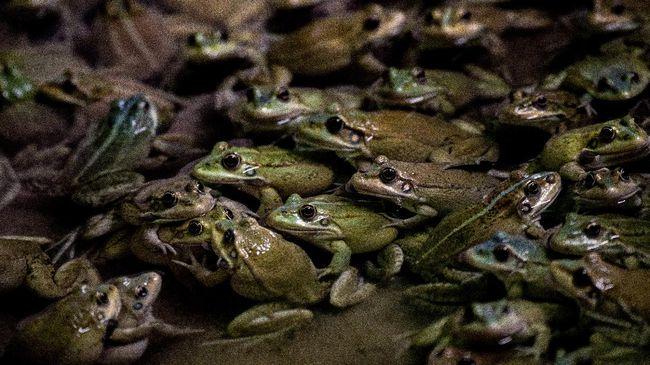 Spesies baru katak berkantung ditemukan di hutan Amazon Peru.