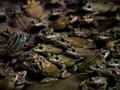 Spesies Katak Baru Ditemukan di Hutan Amazon Peru