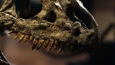 Allosaurus bisa disebut sebagai kadal raksasa, namun dengan struktur tulang belakang yang cukup unik. Fosil ini dilelang pada 13 Oktober waktu setempat.