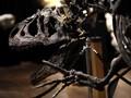 Spesies Baru Dinosaurus Ditemukan, Hidup 73 Juta Tahun Lalu