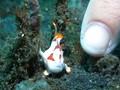 VIDEO: Jumpa Fauna Laut Kerdil di Selat Lembeh