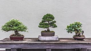 Cara Membuat Tanaman Bonsai untuk Hiasan Interior