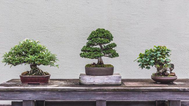 Teknik pemeliharaan dan pembentukan cabang bonsai butuh keterampilan dan memakan waktu. Jika tertarik, simak cara membuat tanaman bonsai berikut.