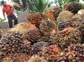 Malaysia Salip RI Jadi Pemasok Minyak Sawit Terbesar ke India