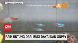 VIDEO: Raih Untung Dari Budi Daya Ikan Guppy