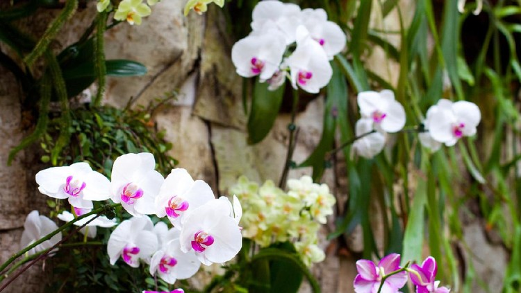 Orchids in the world famous National Orchid Garden in Singapore