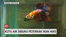 VIDEO: Kutu Air Diburu Peternak Ikan Hias