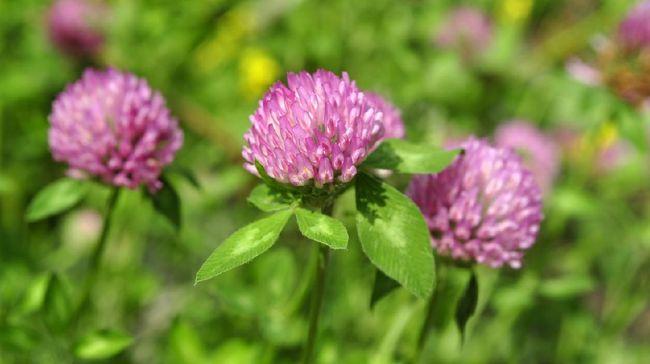 Menopause menimbulkan beberapa gejala yang mengganggu. Atasi gejala tersebut dengan 7 bahan herbal berikut ini.
