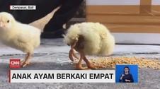 VIDEO: Wujud Anak Ayam Berkaki Empat di Bali