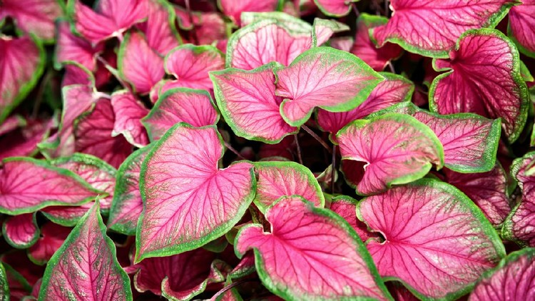 Caladium bicolor leaves use for background.