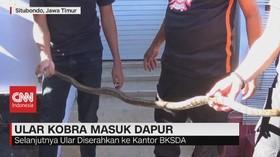 VIDEO: Heboh, Ular Kobra Masuk Pemukiman Warga
