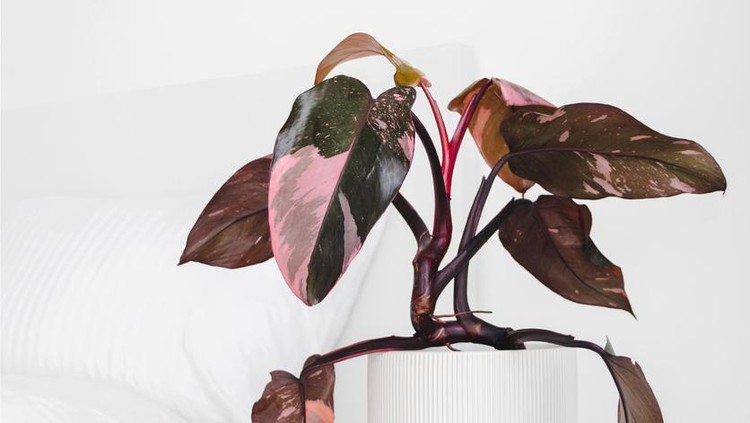 Modern houseplants on a bedside table in the white bedroom, minimal creative home decor concept, Philodendron Erubescens or Pink Princess