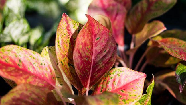 Untuk memaksimalkan pertumbuhannya, ikuti beberapa cara merawat aglonema dengan benar berikut ini.