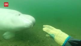 VIDEO: Penyelam Disapa Paus Beluga