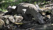 Studi Sebut Komodo Berasal dari Australia