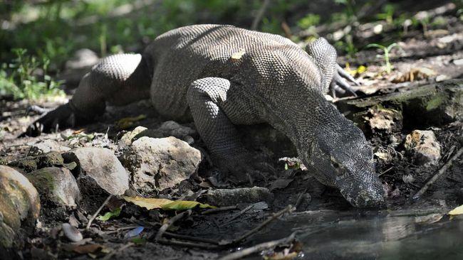 Studi dari Universitas di Australia menyebut asal Komodo dari Australia Utara yang bermigrasi ke Indonesia.