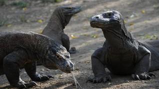 Kronologi Pemandu Wisata Digigit Komodo di Resort Loh Buaya