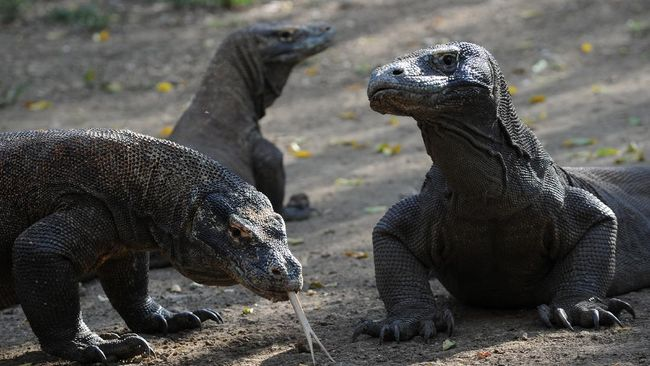 Seorang pemandu wisata alam SPTN Wilayah I Balai Taman Nasional Komodo, Anton digigit komodo. Berikut kronologinya.