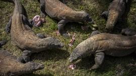 Komodo Terancam Punah pada 2050