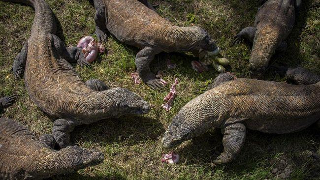 Peneliti memprediksi perubahan iklim bisa membuat Komodo terancam punah pada 2050.