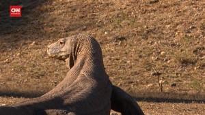 VIDEO: Proyek 'Jurassic Park' di Pulau Rinca NTT