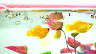 Ikan Hias Air Tawar yang Mudah Beranak dan Menguntungkan