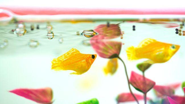 Selain kemudahan perawatannya, memilih jenis ikan hias air tawar yang mudah beranak juga tak kalah penting agar mendapat keuntungan maksimal.
