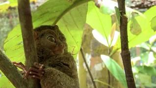 Menjumpai Tarsius Sang Monyet Hantu di Belitung