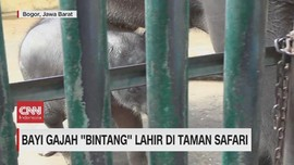 VIDEO: Bayi Gajah ''Bintang'' Lahir Di Taman Safari