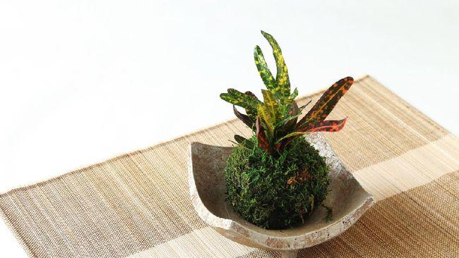 Salah satu jenis tren tanaman hias adalah kokedama yang merupakan gumpalan lumut berbentuk bola. Simak cara-cara membuat kokedama dan tips merawatnya.