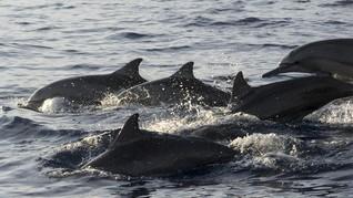 Tiga Lumba-lumba Electra Terdampar di Pantai Tulungagung
