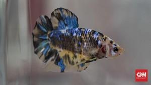 Adu Mahal Ikan Cupang Seleb Indonesia