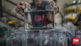 FOTO: Terpincut Warna-warni Pameran Ikan Cupang