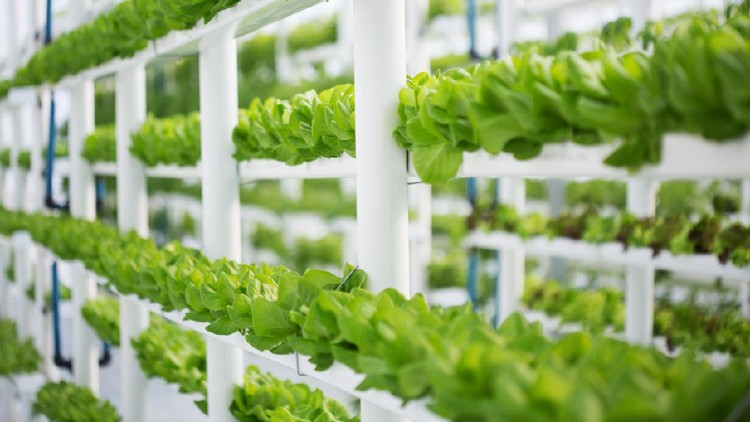 An indoors vertical hydroponic lettuce farm, producing water-wise crops in a modern way. These are butter lettuce, also known as Bibb- or Boston lettuce.
