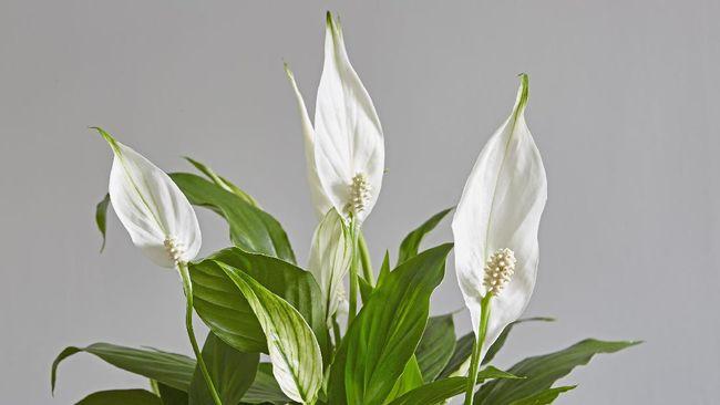 Keberadaan beberapa tanaman hias di dalam kamar bisa membantu Anda mendapatkan tidur yang nyenyak dan meningkatkan kualitas tidur.