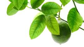 5 Manfaat Daun Jeruk Purut: Merawat Rambut hingga Usir Nyamuk