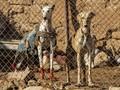 FOTO: Merawat Saluki, Anjing Pemburu dari Suriah