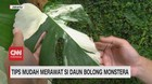 VIDEO: Tips Mudah Merawat di Daun Bolong Monstera