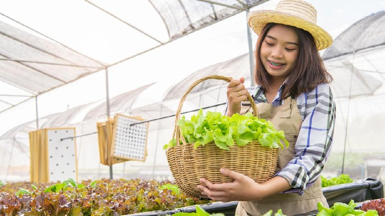 Young Asian hydroponics organic farmer collecting vegetables salad into basket with nursery greenhouse. People lifestyles and business. Indoor agriculture and cultivation  environment gardener concept