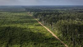 Greenpeace: Lahan Menipis, Korporasi Sawit Merambah ke Papua