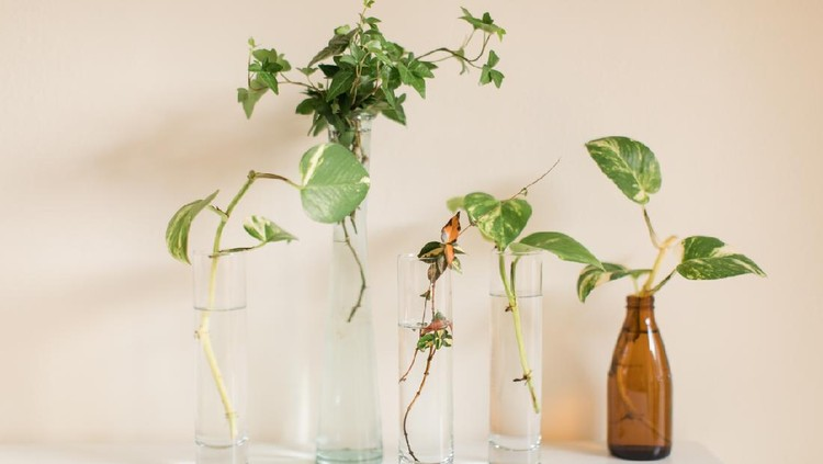 Propagating a Green English Ivy & Pothos Plants. A dark green English Ivy and pothos in vases propagating in bright natural light  English Ivy and pothos are easy-care houseplants that grow quickly and are easy to propagate.