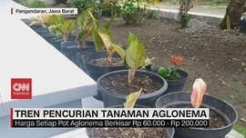 VIDEO: Tren Pencurian Tanaman Aglonema