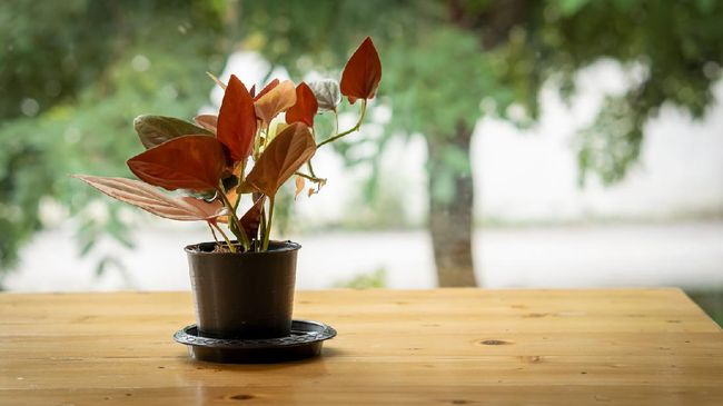 Sebuah video menggambarkan semangat emak-emak 'memburu' tanaman keladi di kuburan. Ada setidaknya 10 jenis tanaman hias keladi yang diprediksi bakal hit.