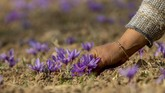 Dikelilingi oleh pegunungan rendah, lembah dengan hamparan bunga ungu di Kashmir menghasilkan salah satu rempah paling berharga di dunia, saffron.
