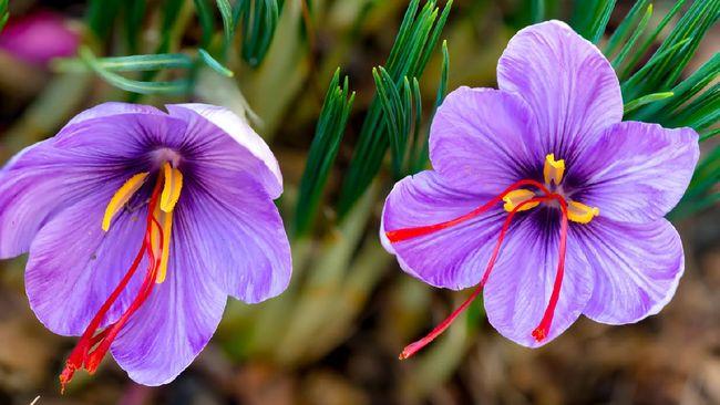 Saffron dikenal sebagai rempah termahal di dunia. Apa alasannya?